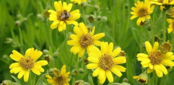 Арніка гірська – лікувальні властивості