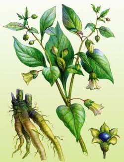 Беладону можна впізнати за квітками