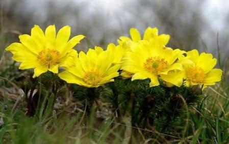 Горицвіт весняний – властивості та застосування