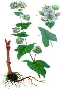 Гречка це культурна рослина