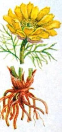 Застосування горицвіту весняного