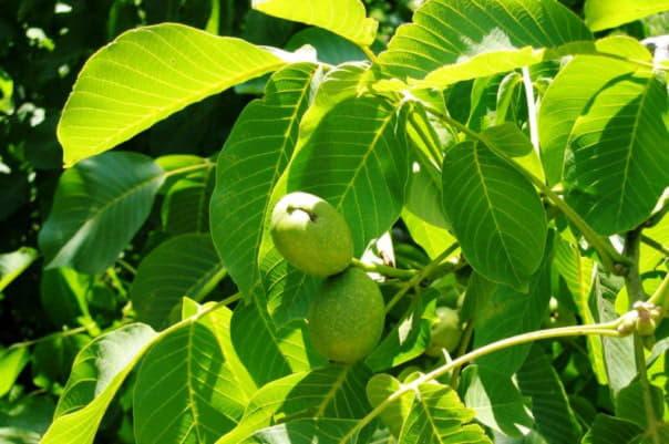 Історичні відомості про волоський горіх