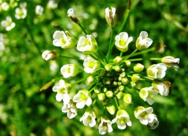 Для лікувальних цілей використовують наземну частину рослини