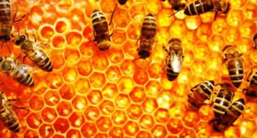 Лікування аденоми простати бджолиним підмором