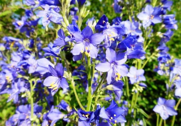 Синюха блакитна - лікувальні властивості