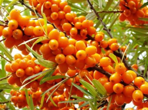 Корисні властивості плодів і листя обліпихи