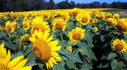 Корисні властивості соняшникової олії