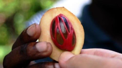 Мускатний горіх користь і шкода