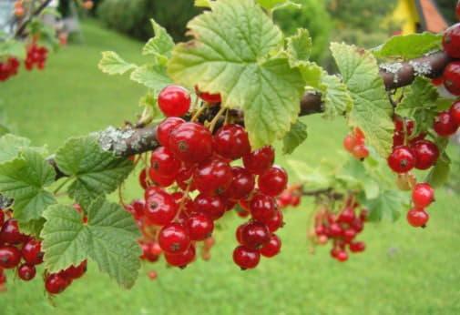 Склад і корисні властивості червоної смородини