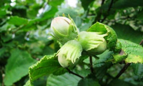 Лісовий горіх не тільки поживний, але і цілющий