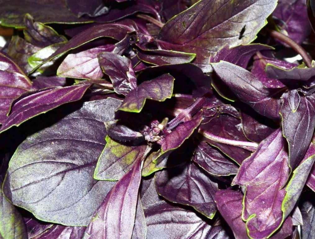 ри умиванні водним розчином з листям базиліку лікуються нариви