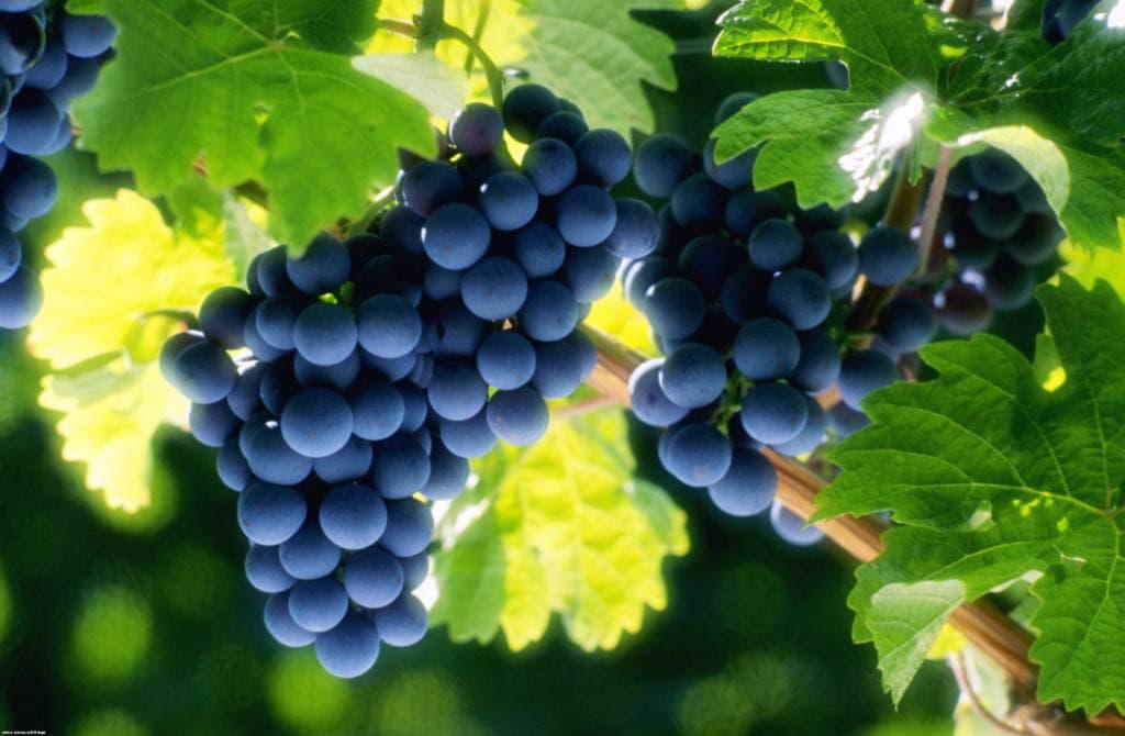 Лікувальні властивості винограду, ампелотерапія