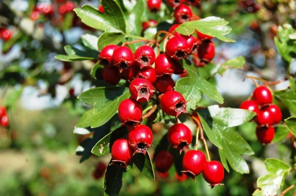 Плоди глоду, корисні і лікувальні властивості